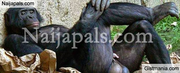 Gorilla Did Not Eat The N6.8M, It Was Scary Armed Robbers That Stole It - Zoo MD