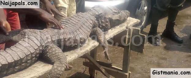 OMG! See The Massive Crocodile Captured In a Canal In Festac, Lagos State (Photos)
