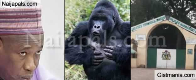 """""""The Gorilla Must Vomit The Stolen N6.8m"""" – Kano Governor, Ganduje Says As He Orders For Probe"""