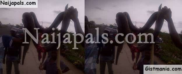 PHOTOS: Check Out The Huge Python Snake Killed On Lekki Epe Expressway In Lagos