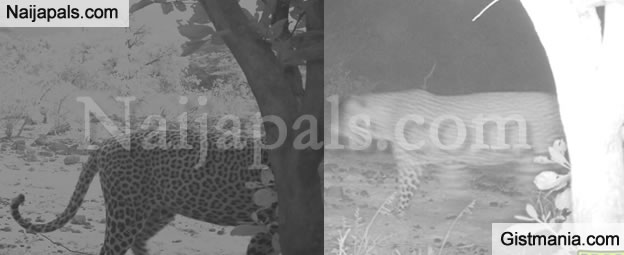 """Leopard Seen Wandering At Game Reserve In Bauchi After Being """"Extinct"""" For Decades (Photos)"""