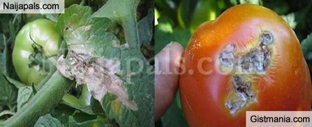 """Tomato Ebola"" hits Six States in Nigeria Causing Severe Scarcity"